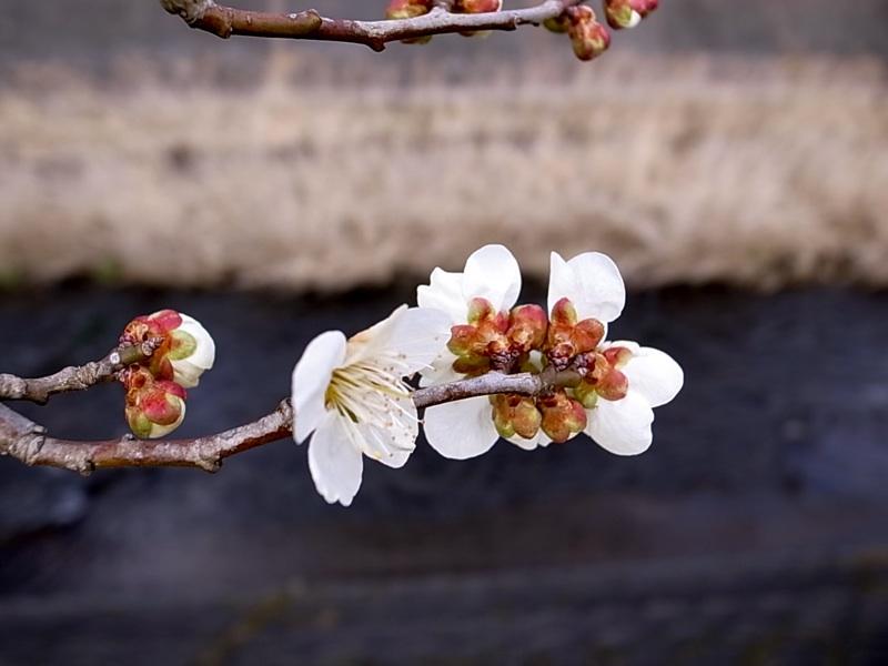 梅の花が知らせる。