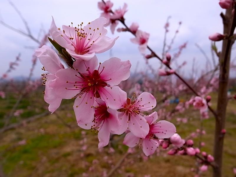 美しい桃の花。