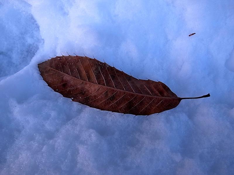 雪にクヌギの葉。