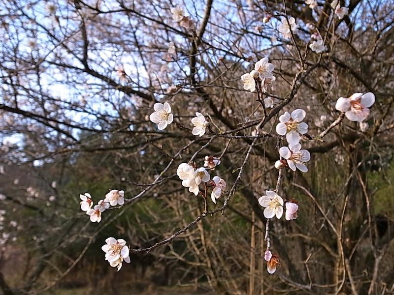 梅の花は次々と。