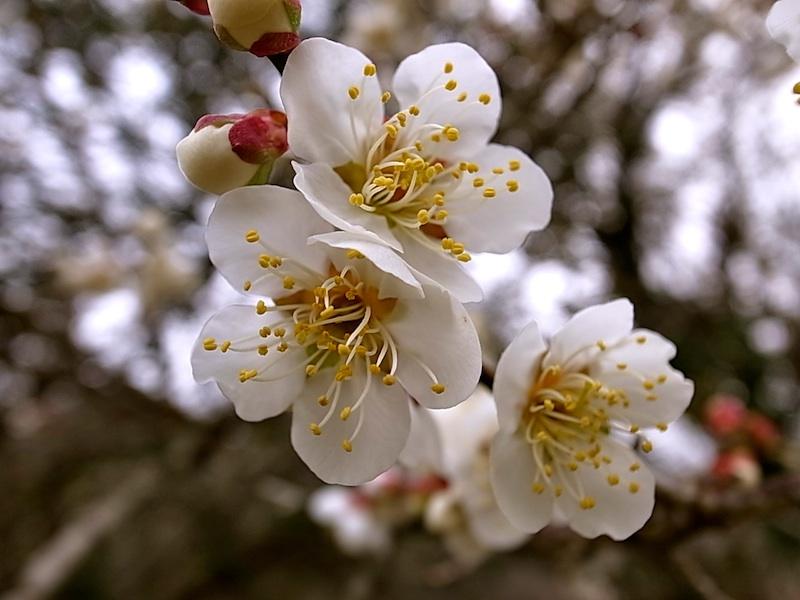 三分咲きの梅。