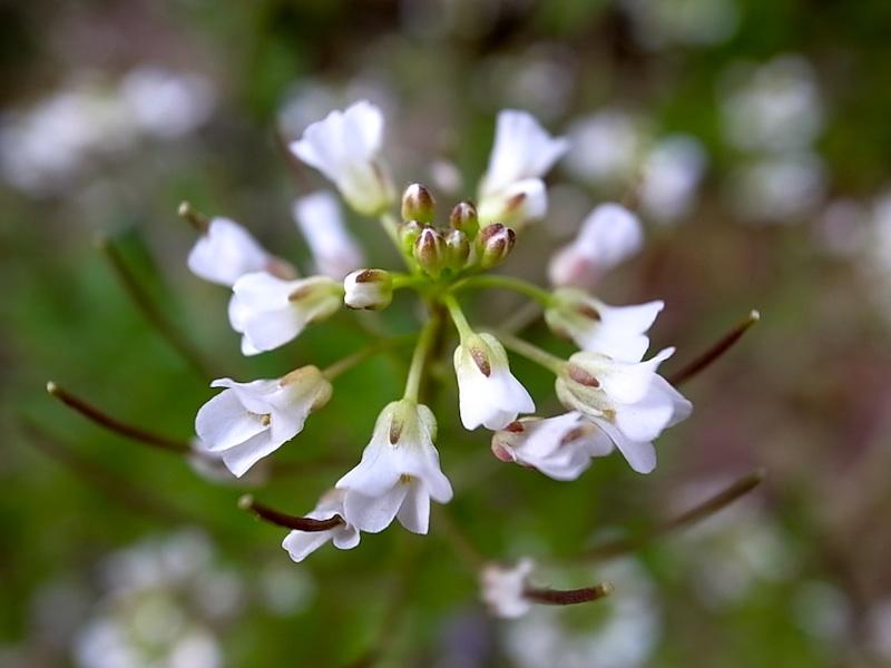 ナズナの花。
