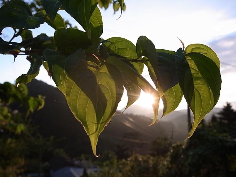 葉を透かす光。