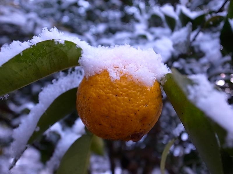 裏山の柚子。