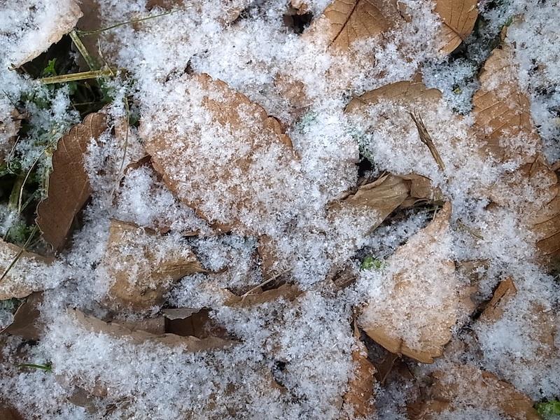 枯葉に雪。