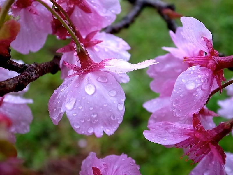 八重桜に雨。