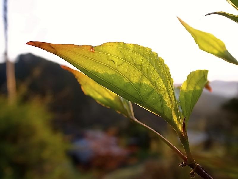 ヤマボウシの若葉。