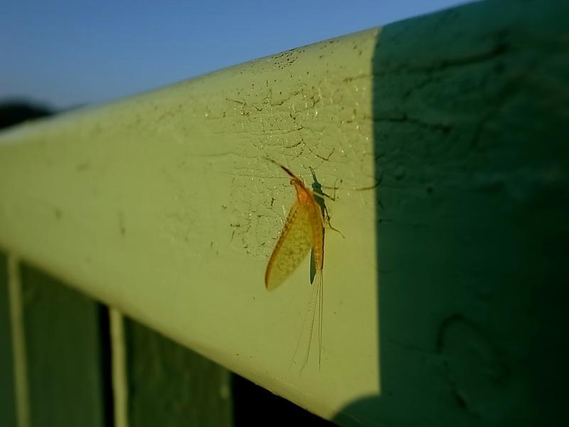 欄干のカゲロウ。