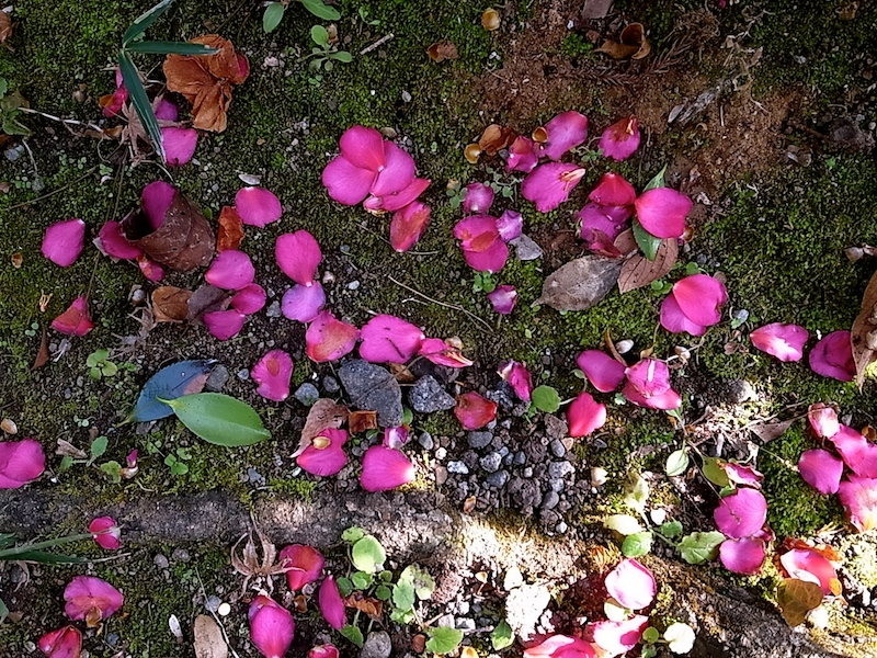 山茶花の花びら。