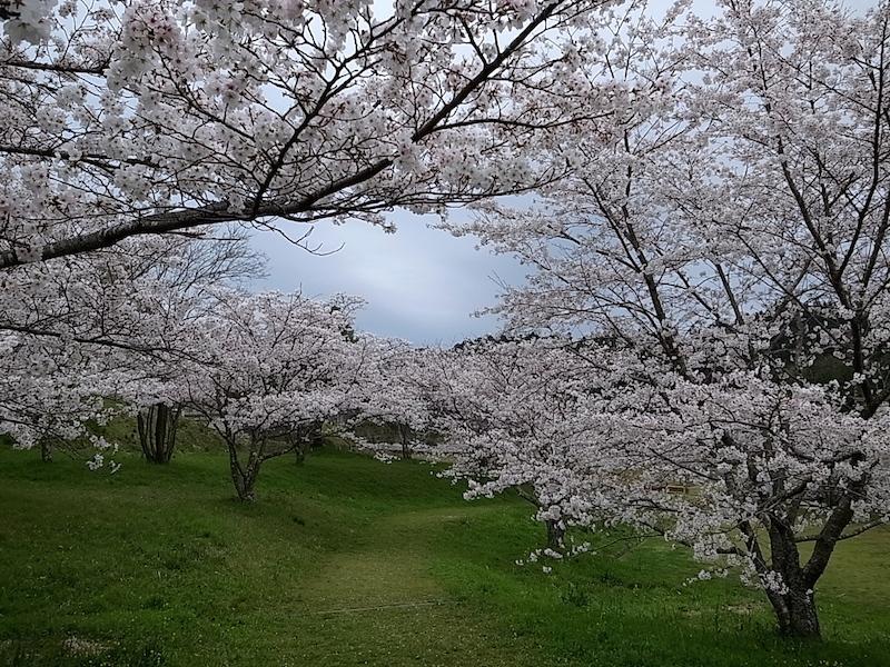 誰もいない桜の園。