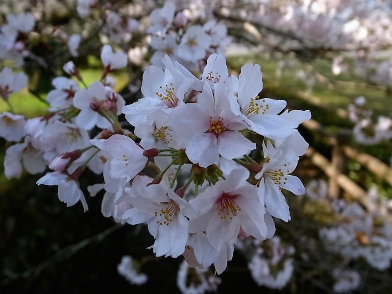 疎水にかかる桜。