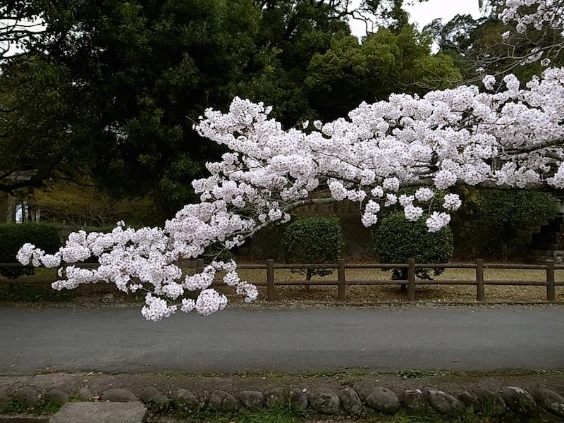 桜花は胸に迫る。