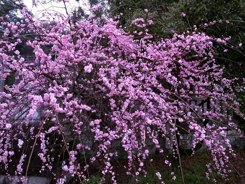 満開の花よ咲け。