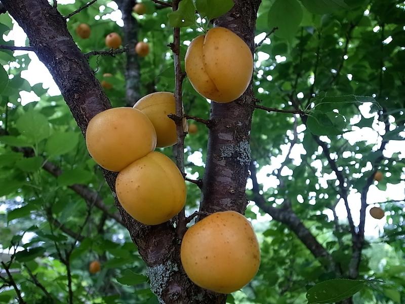 お向かいの杏。
